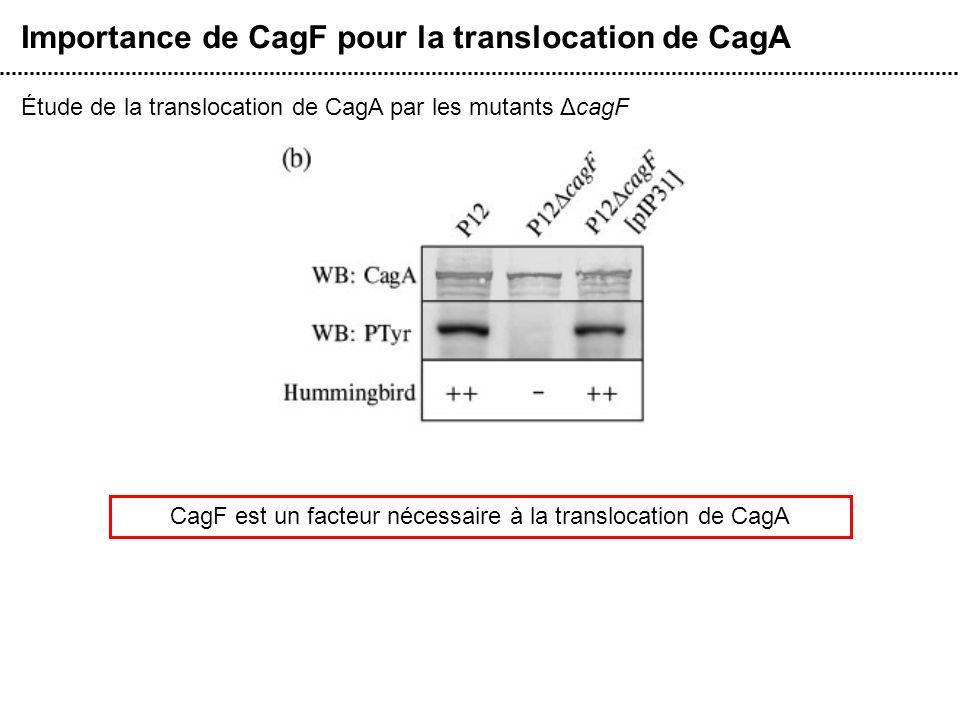 Importance de CagF pour la translocation de CagA Étude de la translocation de CagA par les mutants ΔcagF CagF est un facteur nécessaire à la transloca