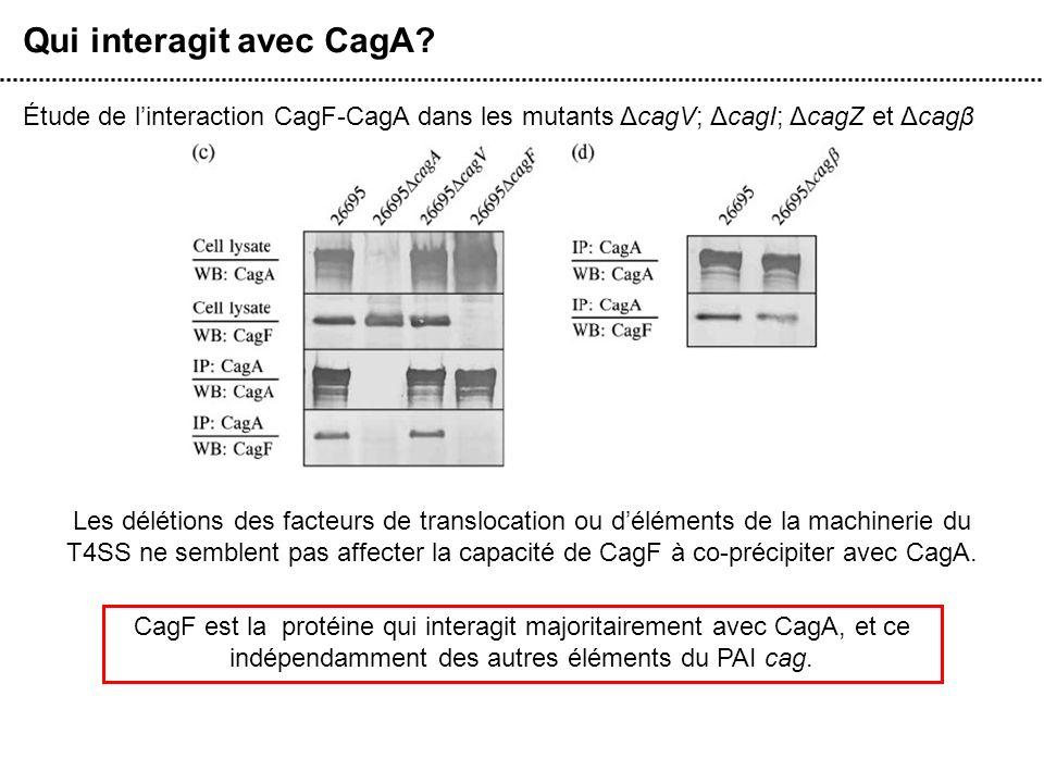 Qui interagit avec CagA? Étude de linteraction CagF-CagA dans les mutants ΔcagV; ΔcagI; ΔcagZ et Δcagβ Les délétions des facteurs de translocation ou