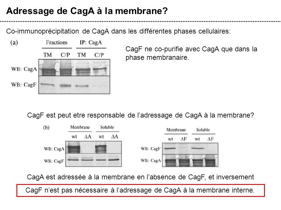 Adressage de CagA à la membrane? Co-immunoprécipitation de CagA dans les différentes phases cellulaires: CagF ne co-purifie avec CagA que dans la phas