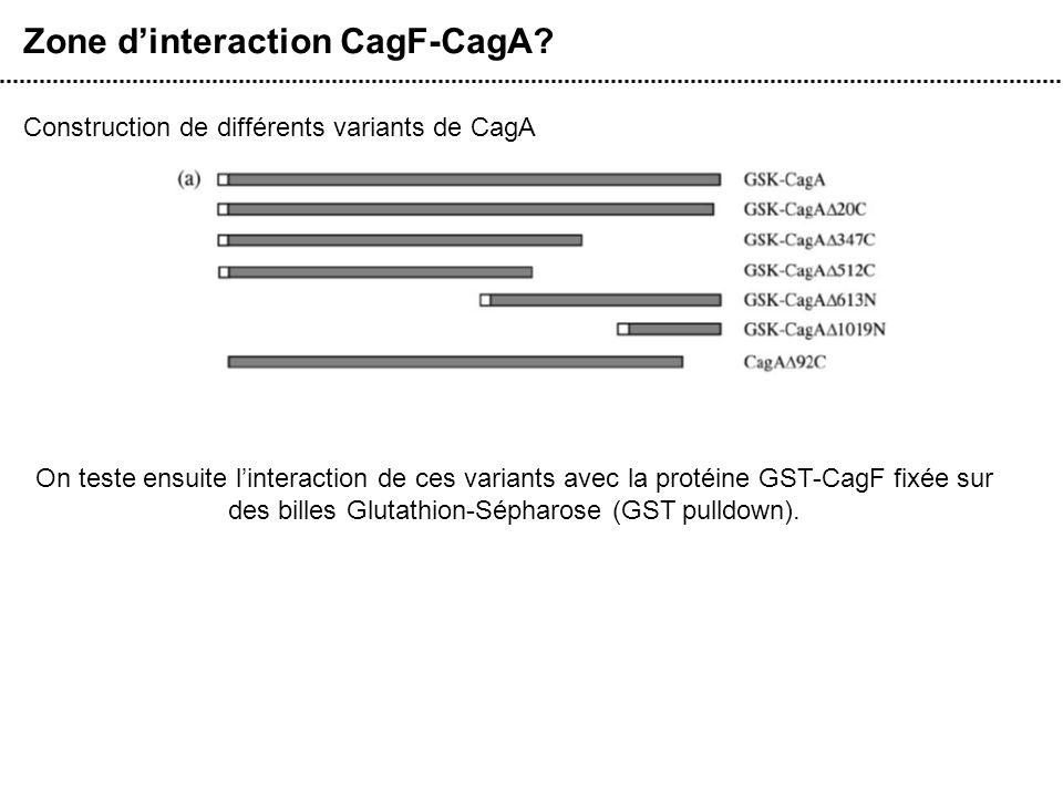 Zone dinteraction CagF-CagA? Construction de différents variants de CagA On teste ensuite linteraction de ces variants avec la protéine GST-CagF fixée