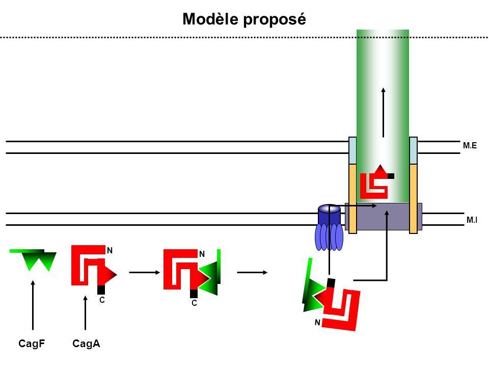M.E M.I Modèle proposé CagACagF N C N N C