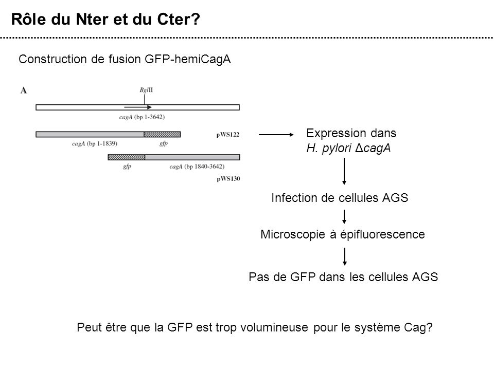 Rôle du Nter et du Cter? Construction de fusion GFP-hemiCagA Infection de cellules AGS Microscopie à épifluorescence Pas de GFP dans les cellules AGS