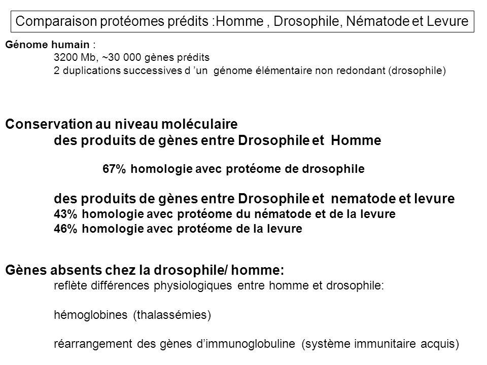 Génome humain : 3200 Mb, ~30 000 gènes prédits 2 duplications successives d un génome élémentaire non redondant (drosophile) Conservation au niveau mo