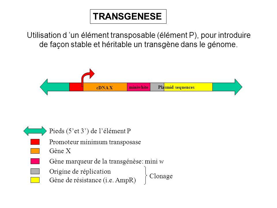 Utilisation d un élément transposable (élément P), pour introduire de façon stable et héritable un transgène dans le génome. Promoteur minimum transpo