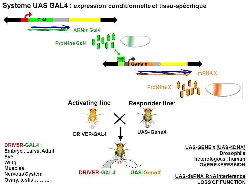 Responder line: UAS- GeneX Activating line DRIVER-GAL4 UAS-GeneXDRIVER-GAL4 ARNm Gal4 Gal4 Protéine Gal4 Protéine X Gène X mRNA X Système UAS GAL4 : e
