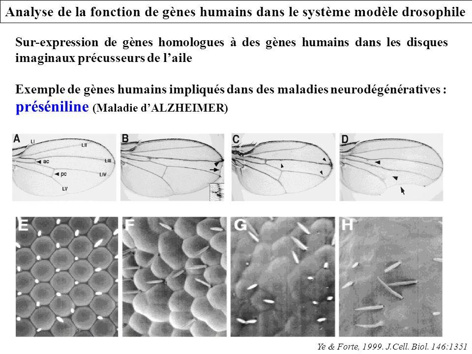 Sur-expression de gènes homologues à des gènes humains dans les disques imaginaux précusseurs de laile Exemple de gènes humains impliqués dans des mal