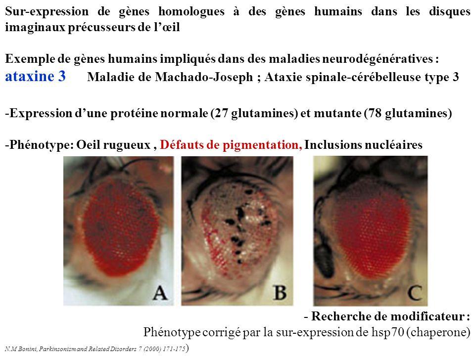 -Expression dune protéine normale (27 glutamines) et mutante (78 glutamines) -Phénotype: Oeil rugueux, Défauts de pigmentation, Inclusions nucléaires