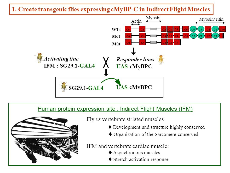 Activating line IFM : SG29.1-GAL4 Responder lines UAS-cMyBPC 1. Create transgenic flies expressing cMyBP-C in Indirect Flight Muscles WTt Myosin/Titin
