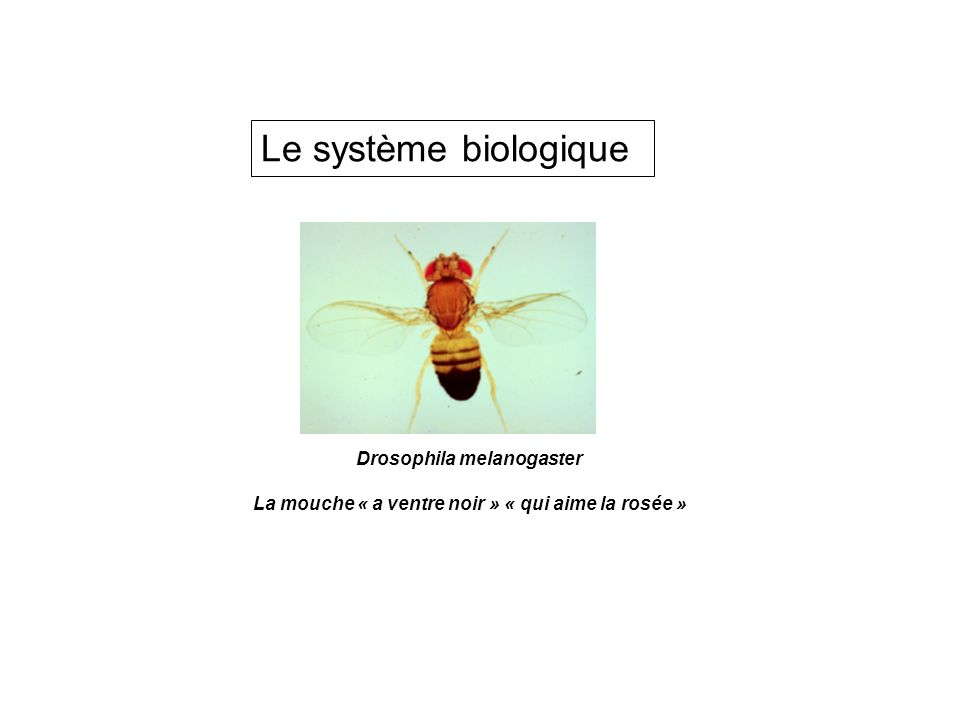Drosophila model to approach human gene function AIM: Identify the primary events associated with human mutated proteins.
