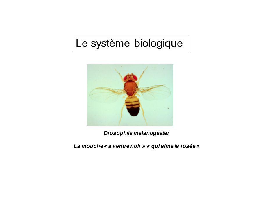 Le système biologique Drosophila melanogaster La mouche « a ventre noir » « qui aime la rosée »