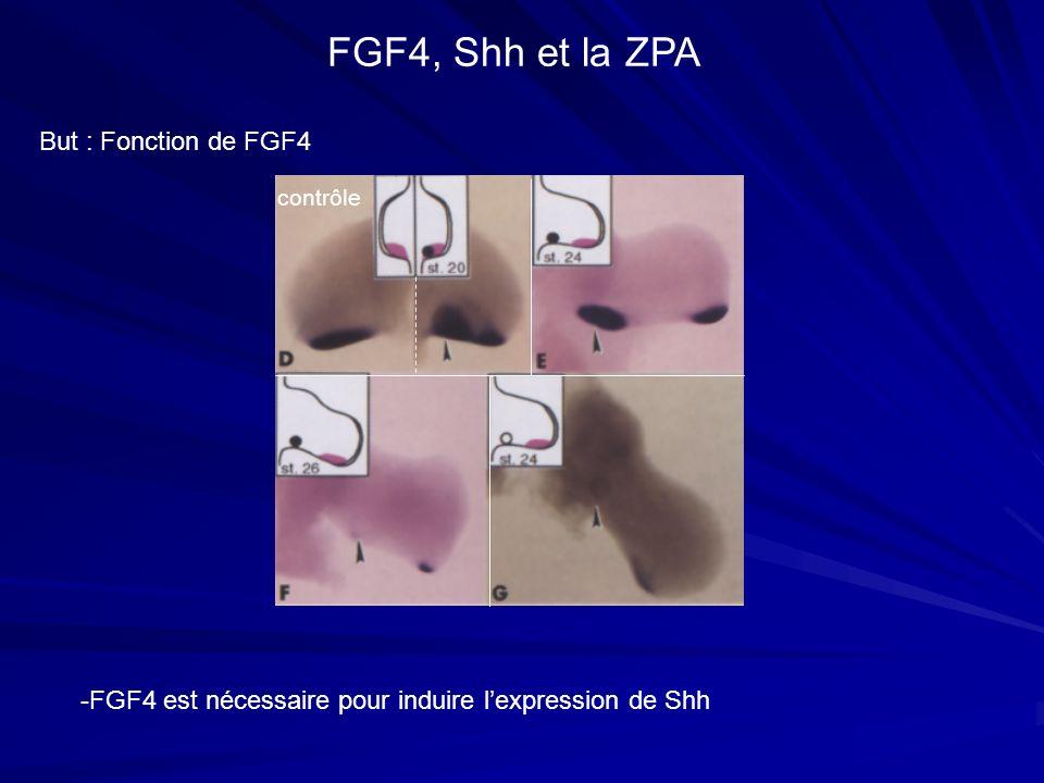 But : Fonction de FGF4 FGF4, Shh et la ZPA -FGF4 est nécessaire pour induire lexpression de Shh contrôle
