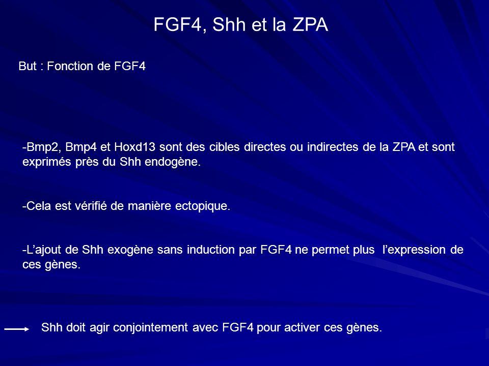 But : Fonction de FGF4 FGF4, Shh et la ZPA -Bmp2, Bmp4 et Hoxd13 sont des cibles directes ou indirectes de la ZPA et sont exprimés près du Shh endogèn