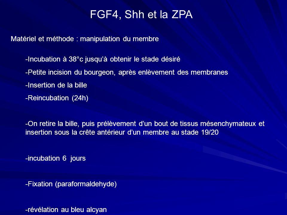Matériel et méthode : manipulation du membre FGF4, Shh et la ZPA -Incubation à 38°c jusquà obtenir le stade désiré -Petite incision du bourgeon, après