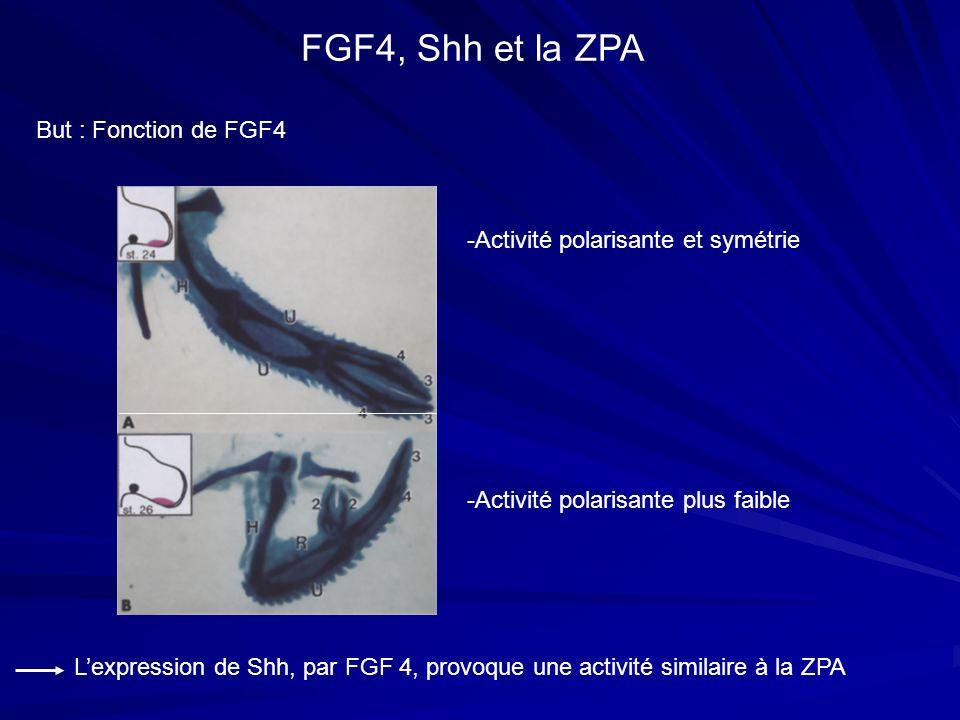 But : Fonction de FGF4 FGF4, Shh et la ZPA Lexpression de Shh, par FGF 4, provoque une activité similaire à la ZPA -Activité polarisante et symétrie -