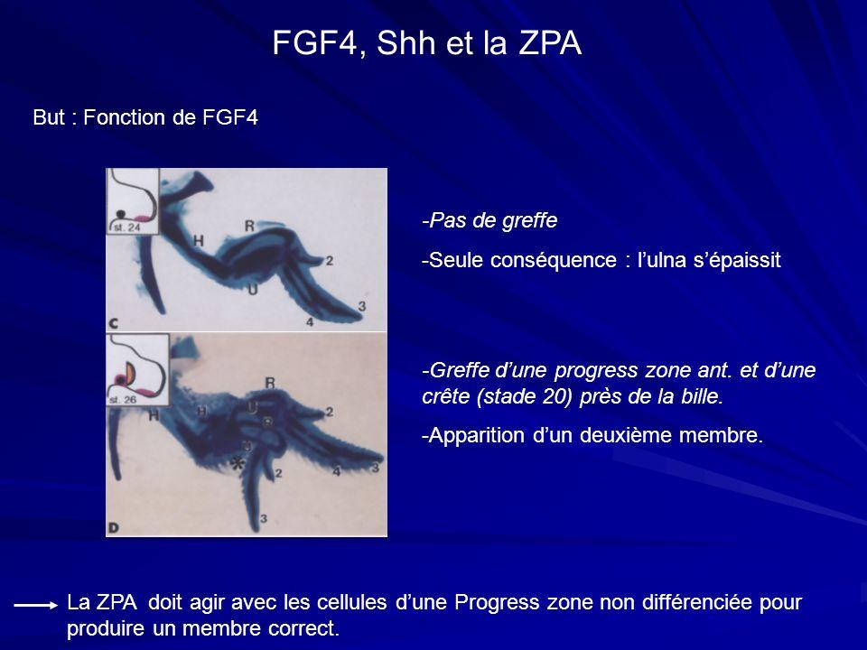 But : Fonction de FGF4 FGF4, Shh et la ZPA -Greffe dune progress zone ant. et dune crête (stade 20) près de la bille. -Apparition dun deuxième membre.
