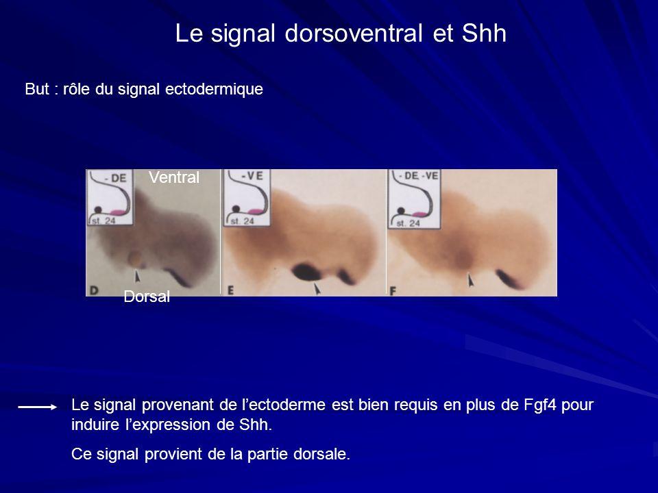 But : rôle du signal ectodermique Le signal dorsoventral et Shh Le signal provenant de lectoderme est bien requis en plus de Fgf4 pour induire lexpres