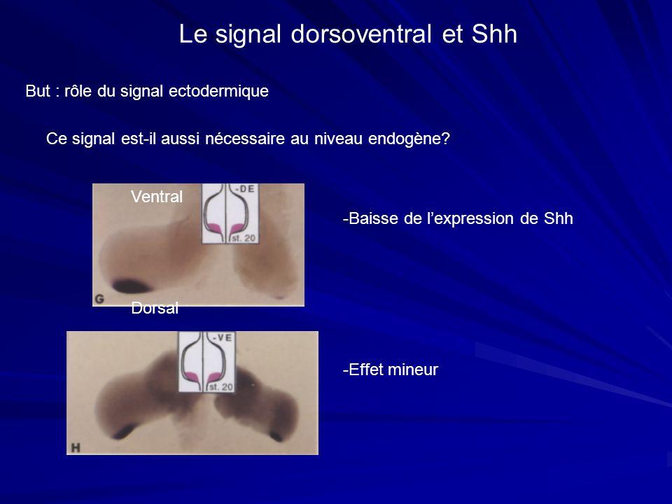 But : rôle du signal ectodermique Le signal dorsoventral et Shh Ce signal est-il aussi nécessaire au niveau endogène? Ventral Dorsal -Baisse de lexpre