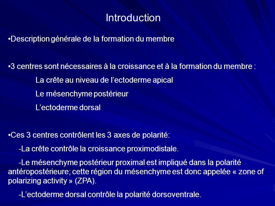 Introduction Description générale de la formation du membre 3 centres sont nécessaires à la croissance et à la formation du membre : La crête au nivea