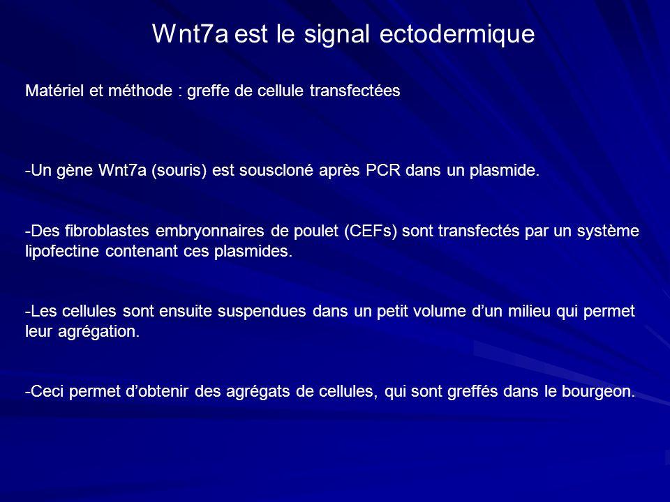 Matériel et méthode : greffe de cellule transfectées Wnt7a est le signal ectodermique -Un gène Wnt7a (souris) est souscloné après PCR dans un plasmide