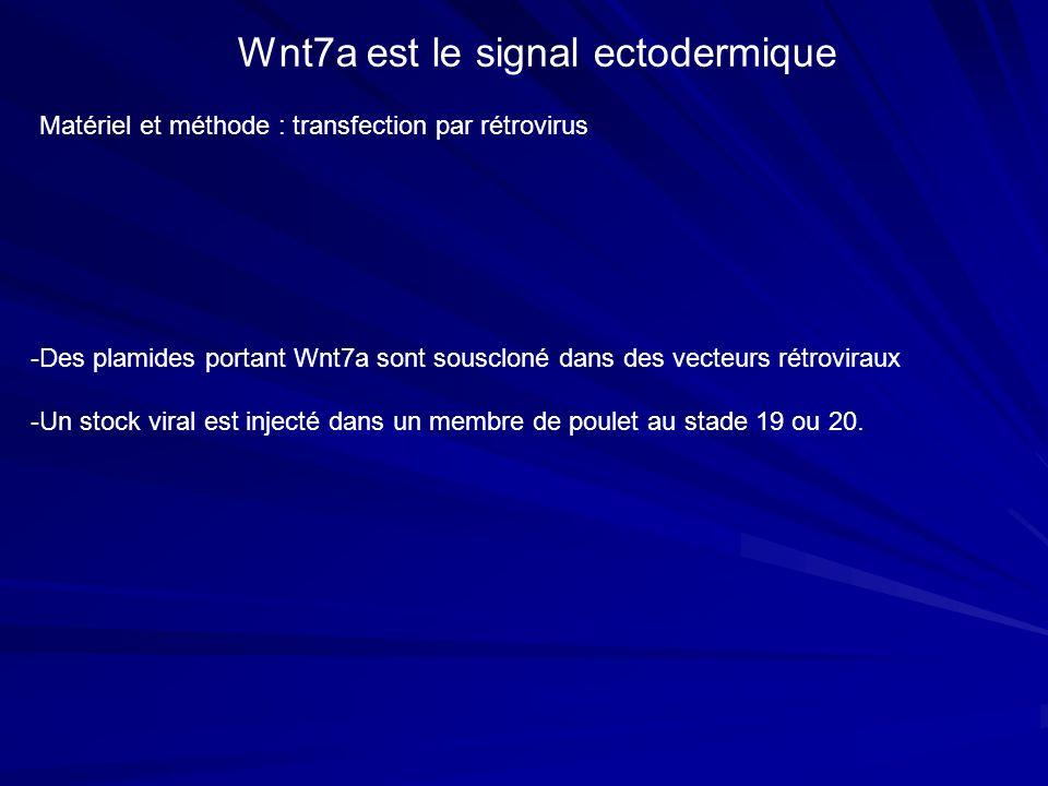 Wnt7a est le signal ectodermique Matériel et méthode : transfection par rétrovirus -Des plamides portant Wnt7a sont souscloné dans des vecteurs rétrov