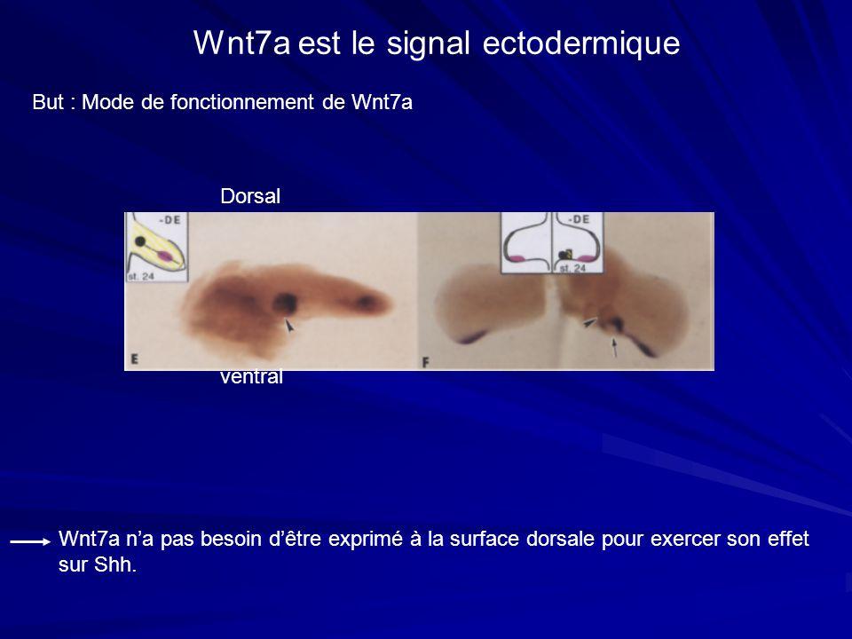 Wnt7a est le signal ectodermique But : Mode de fonctionnement de Wnt7a Wnt7a na pas besoin dêtre exprimé à la surface dorsale pour exercer son effet s