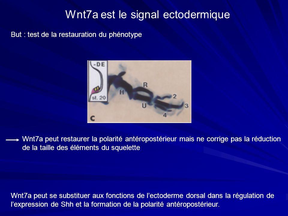 Wnt7a est le signal ectodermique But : test de la restauration du phénotype Wnt7a peut se substituer aux fonctions de lectoderme dorsal dans la régula
