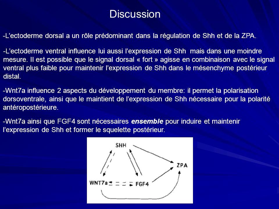 -Lectoderme dorsal a un rôle prédominant dans la régulation de Shh et de la ZPA. -Wnt7a influence 2 aspects du développement du membre: il permet la p