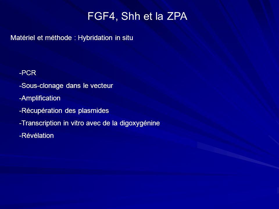 FGF4, Shh et la ZPA Matériel et méthode : Hybridation in situ -PCR -Sous-clonage dans le vecteur -Amplification -Récupération des plasmides -Transcrip