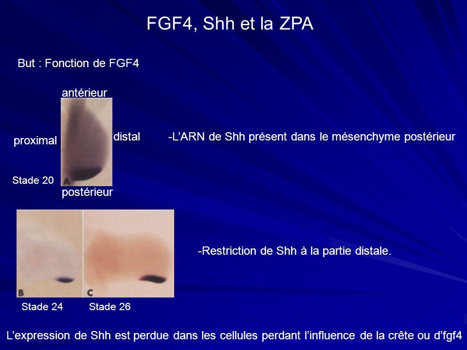 But : Fonction de FGF4 FGF4, Shh et la ZPA antérieur postérieur proximal distal -LARN de Shh présent dans le mésenchyme postérieur -Restriction de Shh