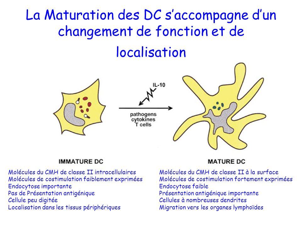 La Maturation des DC saccompagne dun changement de fonction et de localisation Molécules du CMH de classe II intracellulaires Molécules du CMH de clas