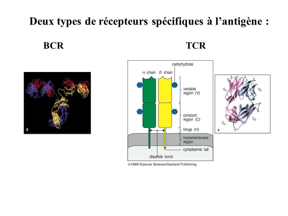Deux types de récepteurs spécifiques à lantigène : BCR TCR