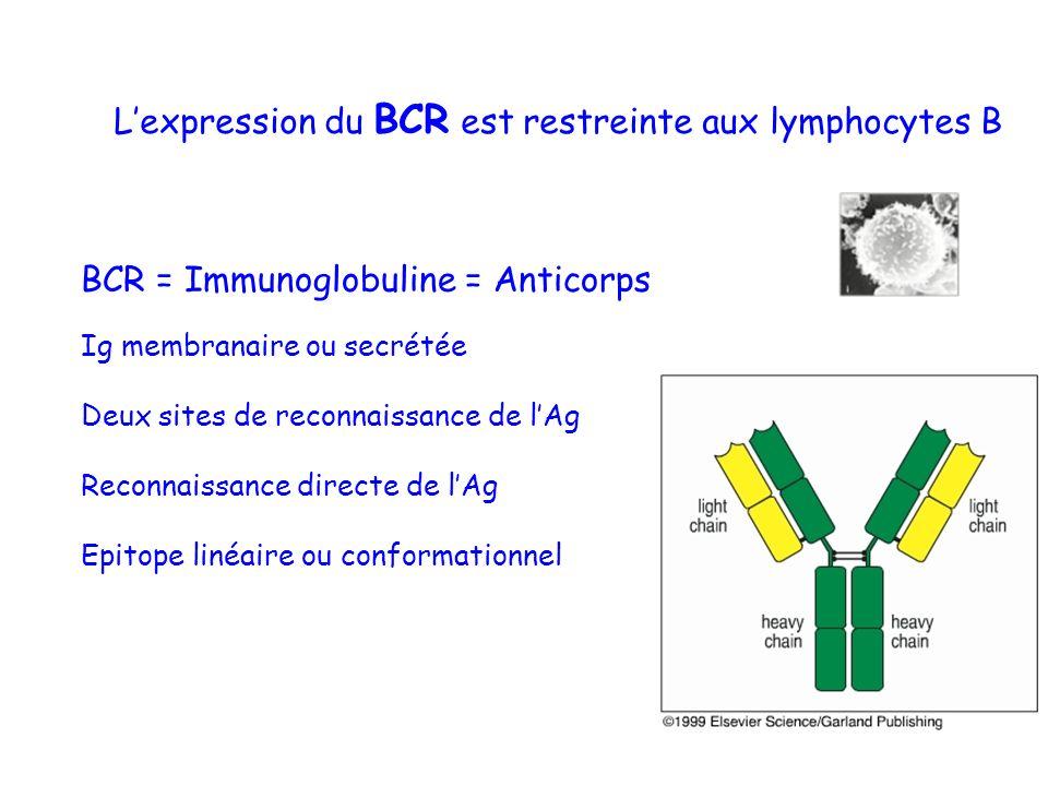 BCR = Immunoglobuline = Anticorps Ig membranaire ou secrétée Deux sites de reconnaissance de lAg Reconnaissance directe de lAg Epitope linéaire ou con
