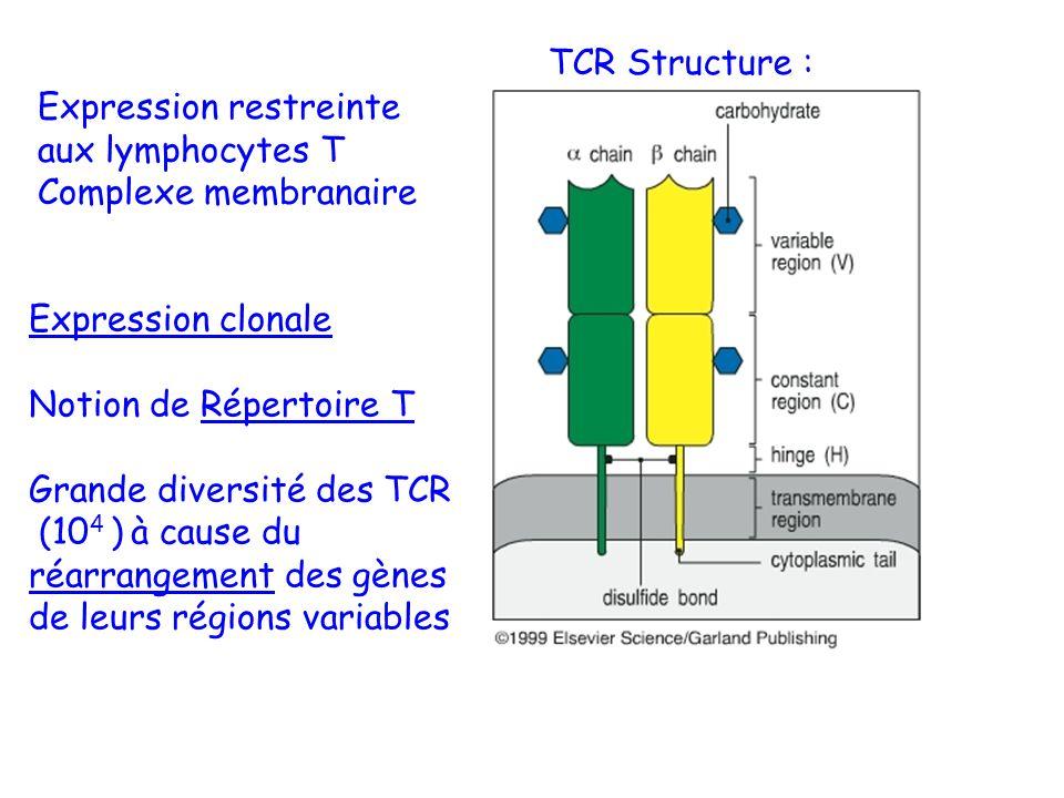 TCR Structure : Expression restreinte aux lymphocytes T Complexe membranaire Expression clonale Notion de Répertoire T Grande diversité des TCR (10 4