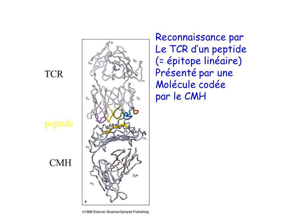 TCR peptide CMH Reconnaissance par Le TCR dun peptide (= épitope linéaire) Présenté par une Molécule codée par le CMH