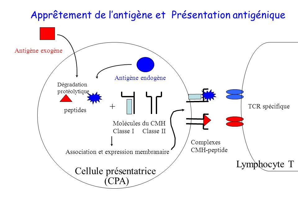 Dégradation protéolytique peptides + Molécules du CMH Classe I Classe II TCR spécifique Association et expression membranaire Complexes CMH-peptide An
