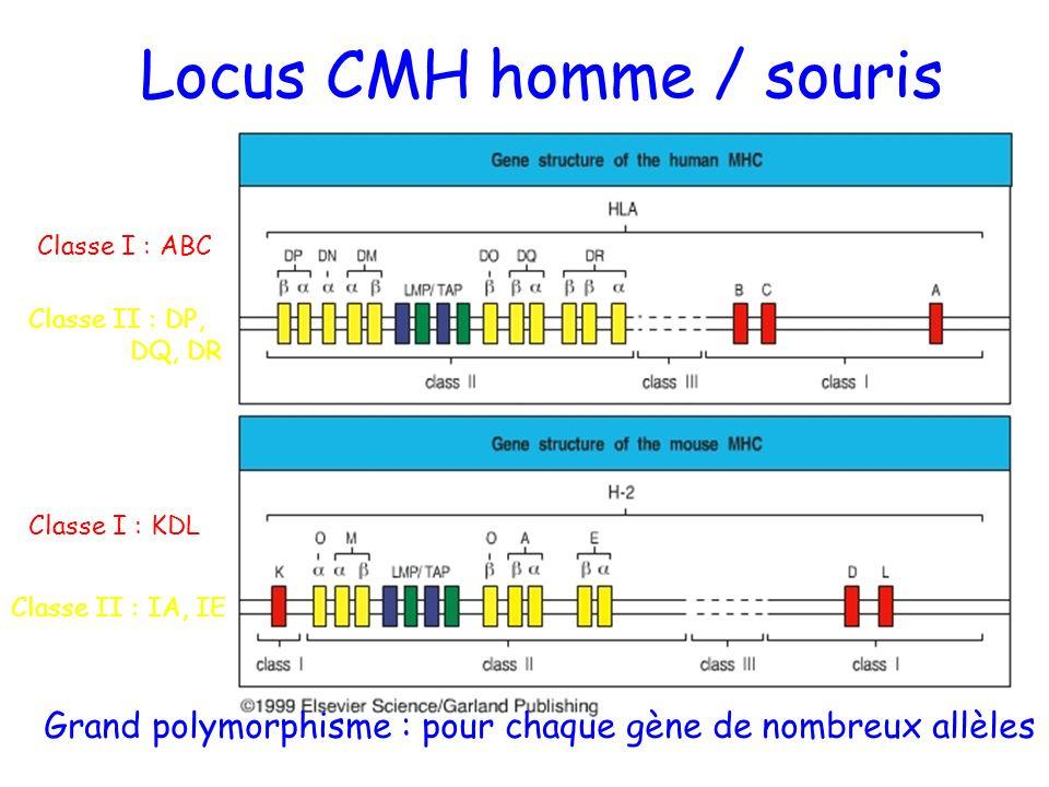 Locus CMH homme / souris Classe I : ABC Classe I : KDL Classe II : DP, DQ, DR Classe II : IA, IE Grand polymorphisme : pour chaque gène de nombreux al