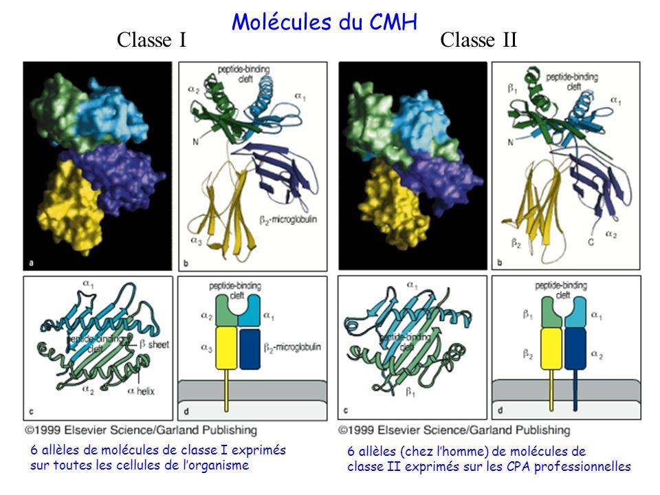 Molécules du CMH Classe IClasse II 6 allèles de molécules de classe I exprimés sur toutes les cellules de lorganisme 6 allèles (chez lhomme) de molécu