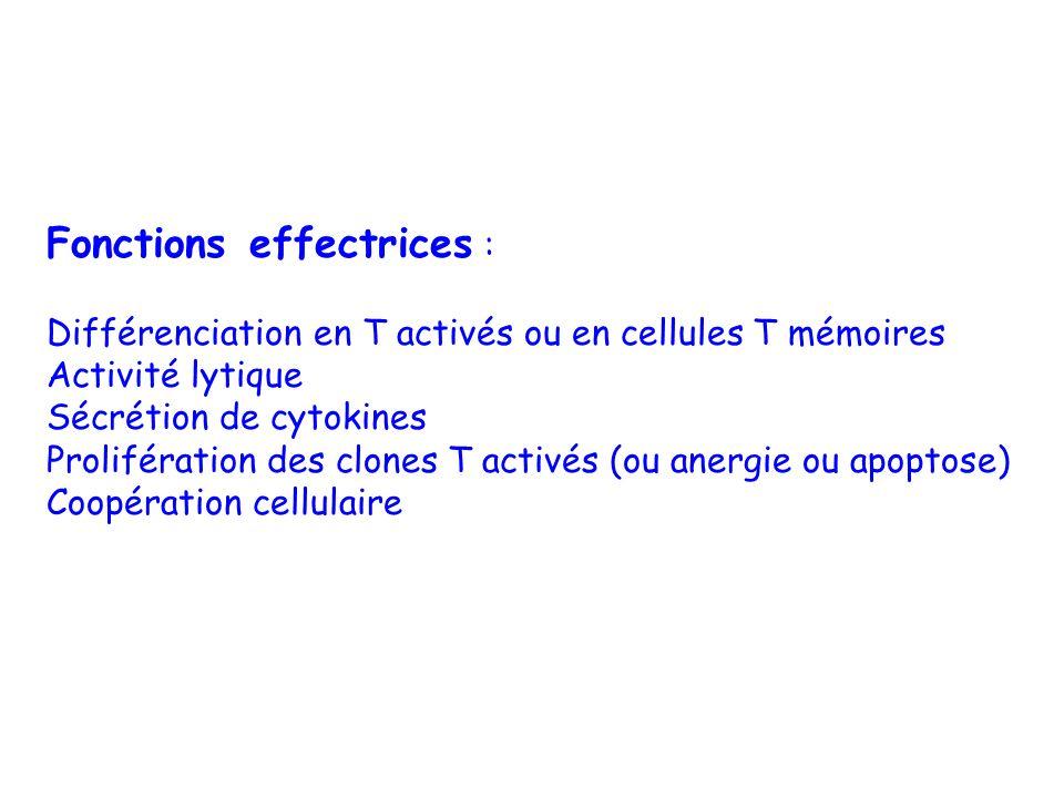 Fonctions effectrices : Différenciation en T activés ou en cellules T mémoires Activité lytique Sécrétion de cytokines Prolifération des clones T acti