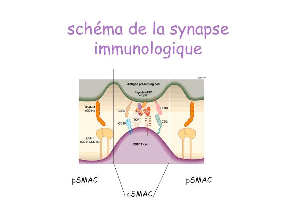 schéma de la synapse immunologique cSMAC pSMAC