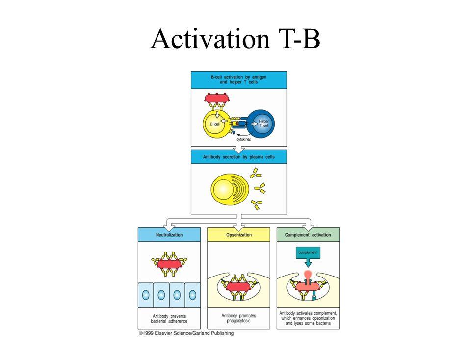 Activation T-B