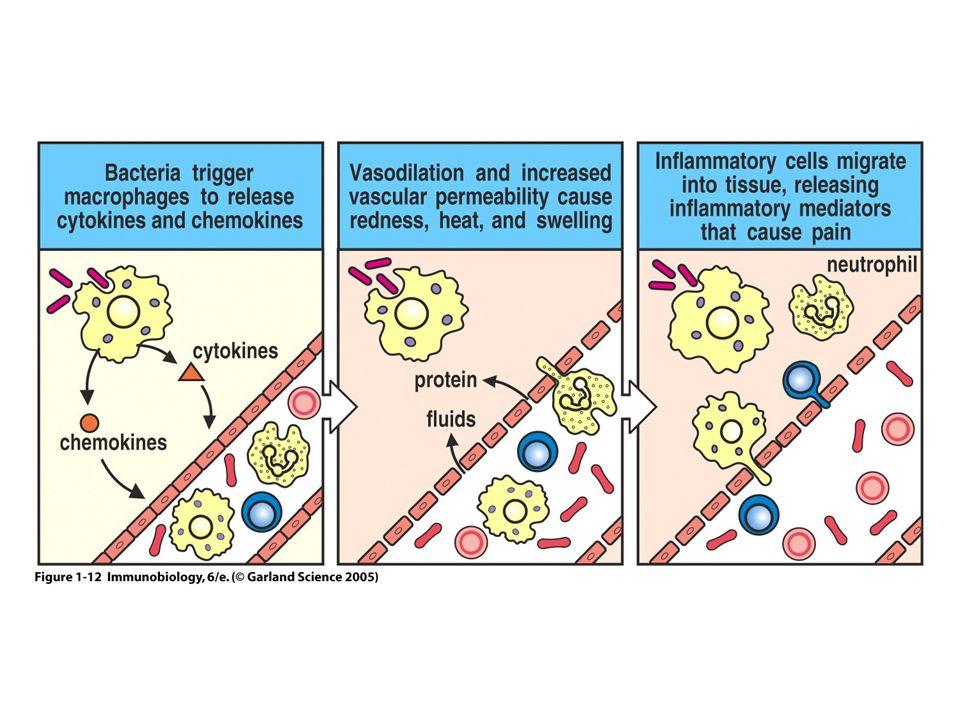 La Maturation des DC saccompagne dun changement de fonction et de localisation Molécules du CMH de classe II intracellulaires Molécules du CMH de classe II à la surface Molécules de costimulation faiblement expriméesMolécules de costimulation fortement exprimées Endocytose importanteEndocytose faible Pas de Présentation antigéniquePrésentation antigénique importante Cellule peu digitéeCellules à nombreuses dendrites Localisation dans les tissus périphériquesMigration vers les organes lymphoïdes
