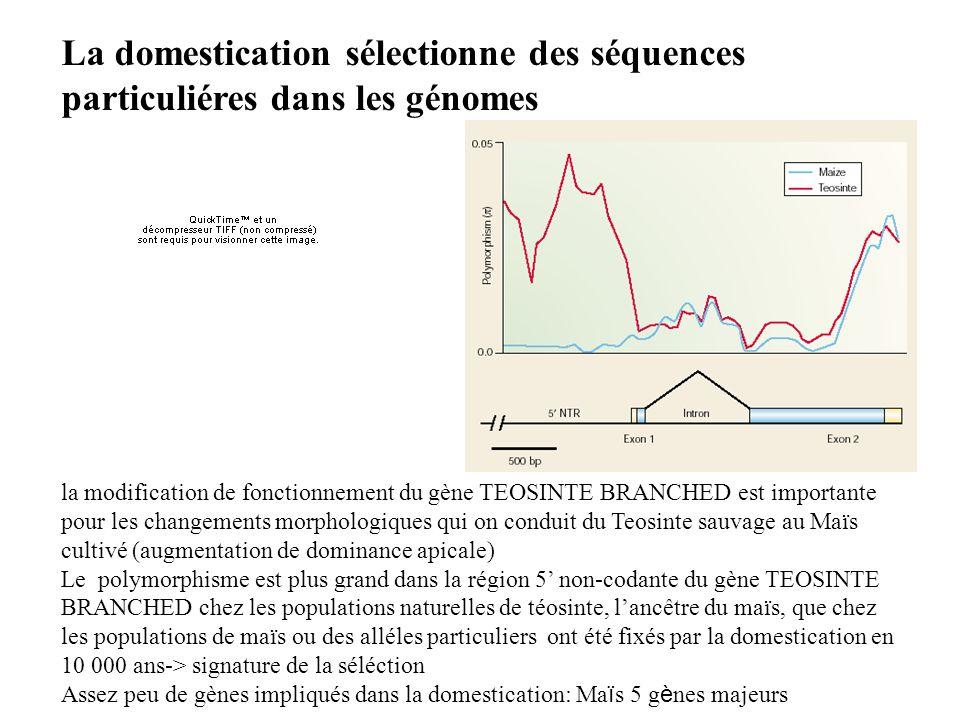 la modification de fonctionnement du gène TEOSINTE BRANCHED est importante pour les changements morphologiques qui on conduit du Teosinte sauvage au M