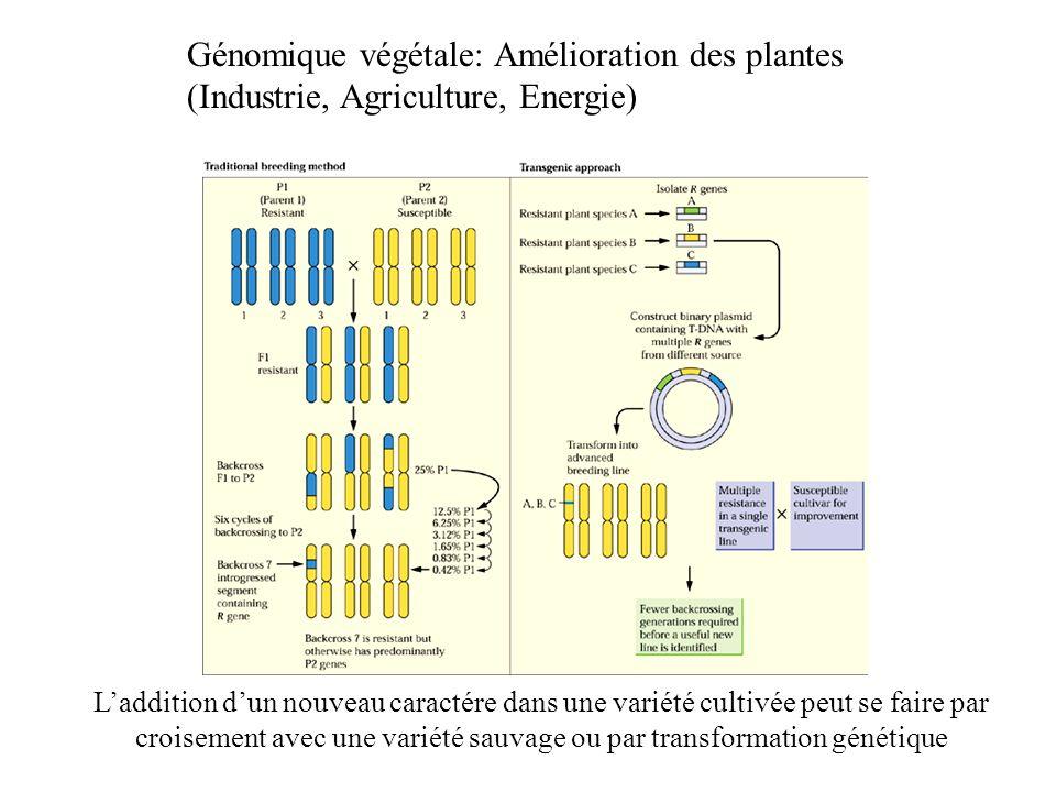 Génomique végétale: Amélioration des plantes (Industrie, Agriculture, Energie) Laddition dun nouveau caractére dans une variété cultivée peut se faire