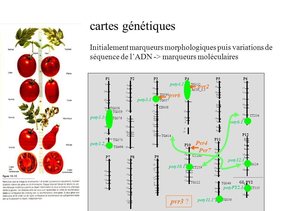 Cartes génétiques: remplacer les marqueurs morphologiques par des marqueurs génétiques (polymorphismes, quasi inépuisables) ->augmentation de précision -> association de gènes intéressants agronomiquement avec des marqueurs -> suivi des marqueurs au cours de la séléction ->identification des gènes