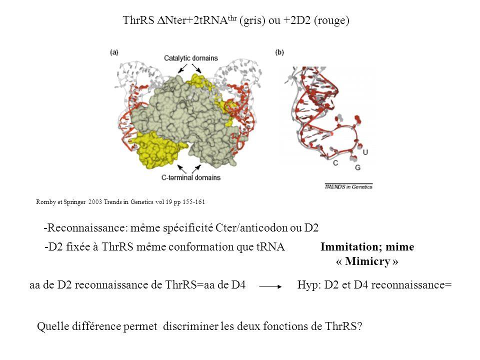 ThrRS Nter+2tRNA thr (gris) ou +2D2 (rouge) Romby et Springer 2003 Trends in Genetics vol 19 pp 155-161 -Reconnaissance: même spécificité Cter/anticod