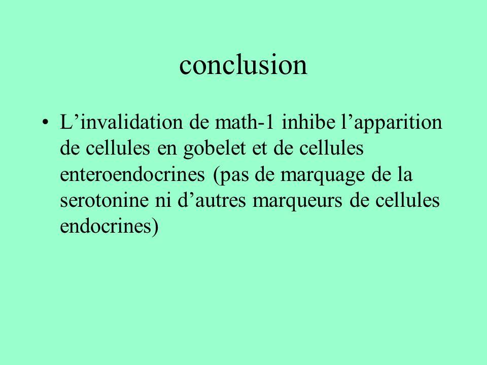 conclusion Linvalidation de math-1 inhibe lapparition de cellules en gobelet et de cellules enteroendocrines (pas de marquage de la serotonine ni daut