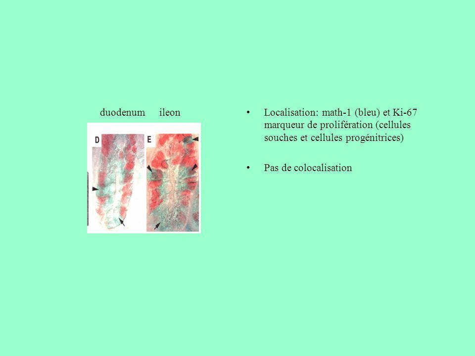 Localisation: math-1 (bleu) et Ki-67 marqueur de prolifération (cellules souches et cellules progénitrices) Pas de colocalisation ileonduodenum