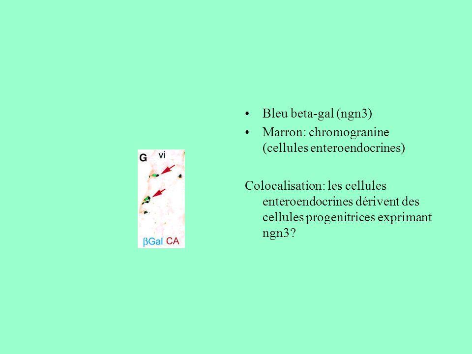 Bleu beta-gal (ngn3) Marron: chromogranine (cellules enteroendocrines) Colocalisation: les cellules enteroendocrines dérivent des cellules progenitric