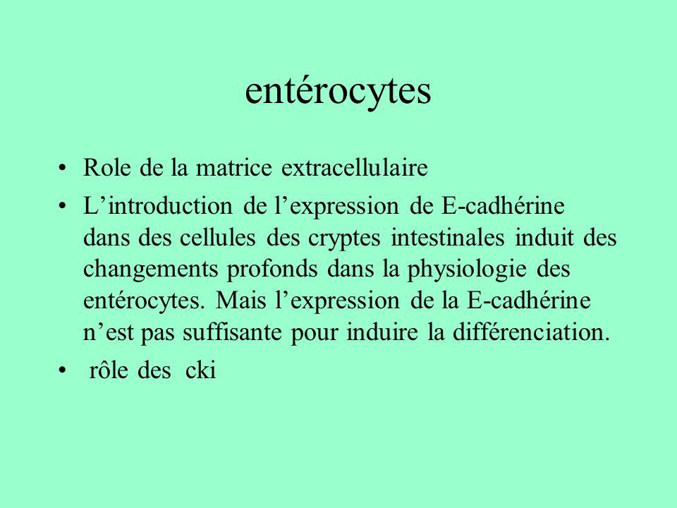 entérocytes Role de la matrice extracellulaire Lintroduction de lexpression de E-cadhérine dans des cellules des cryptes intestinales induit des chang