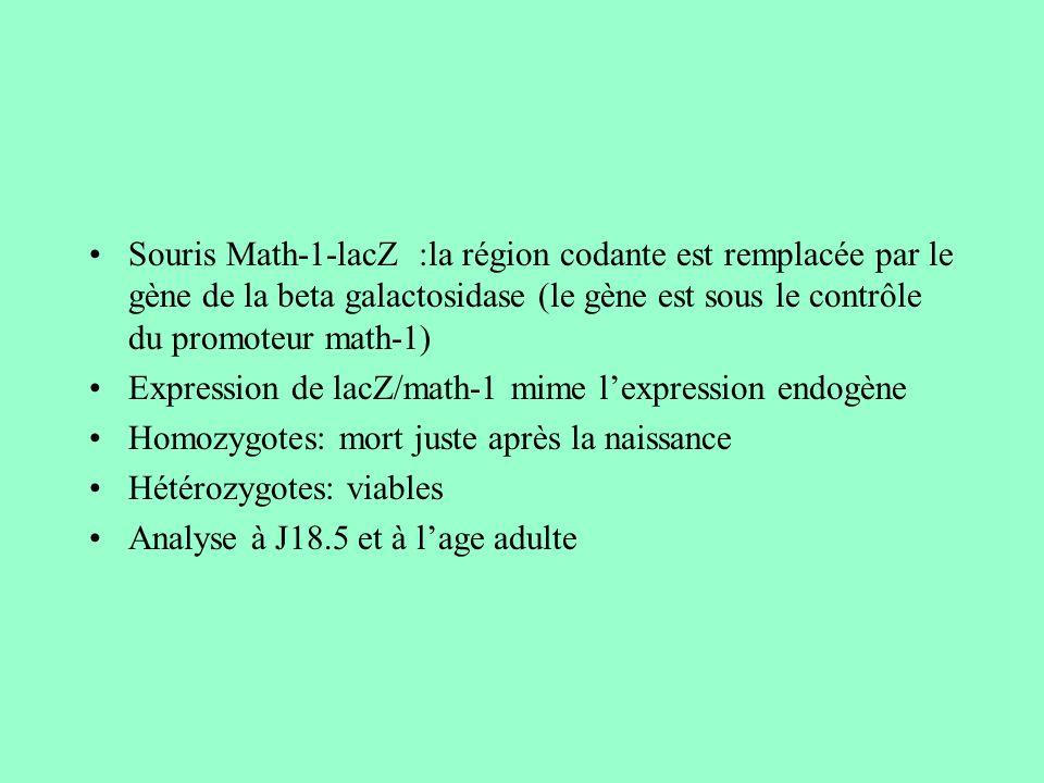 Souris Math-1-lacZ :la région codante est remplacée par le gène de la beta galactosidase (le gène est sous le contrôle du promoteur math-1) Expression